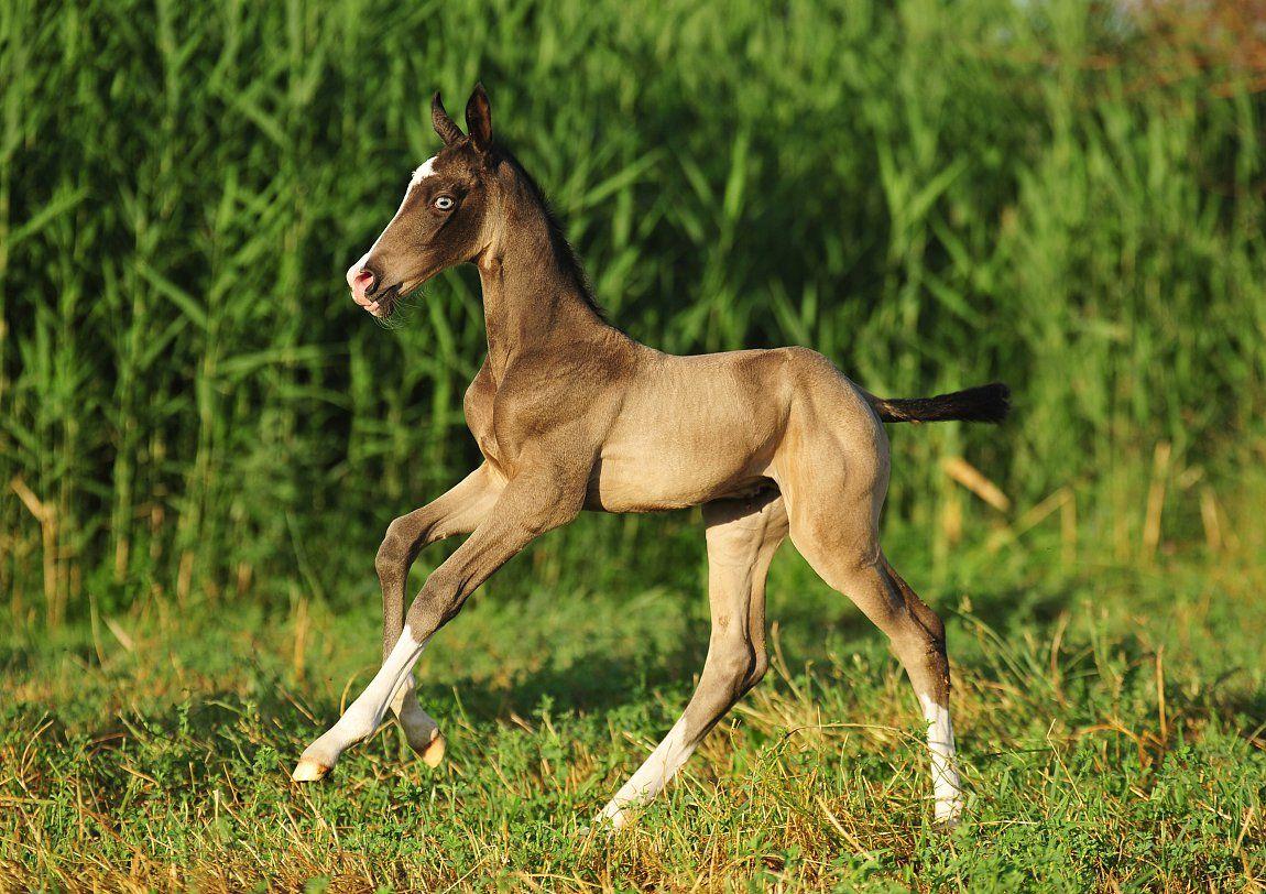Sooty Buckskin Foal