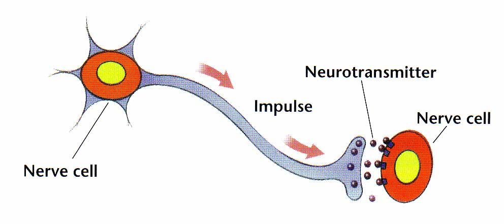 Diagram of a neuron nerve cell parts of a neuron and their nerve cell diagram with labels diagram pinterest diagram rh pinterest com neural cell diagram nerve cell ccuart Gallery