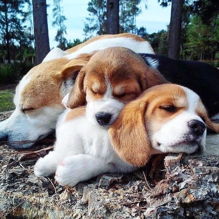 ❤️🤗🤗🤗 Cute sleeping trio fantastico ☺️ Tag your friends who needs to see this cuties 💕 - Don't forget to follow @slimcousins or more cuteness ❤️❤️❤️ Credit @beagle_corner - . . . . . . . . . . . #beagle_corner #beaglecorner #beagle #beaglesofinstagram #beagles #beaglelove #beaglepuppy #beaglemania #beagleworld #beagleloveit #beaglesdaily #beaglelovers #beagleworld_feature #beagleofinstagram #beagleoftheday #beaglemix