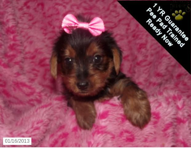 Little Annie Yorkshire Terrier Puppy For Sale In York Pa