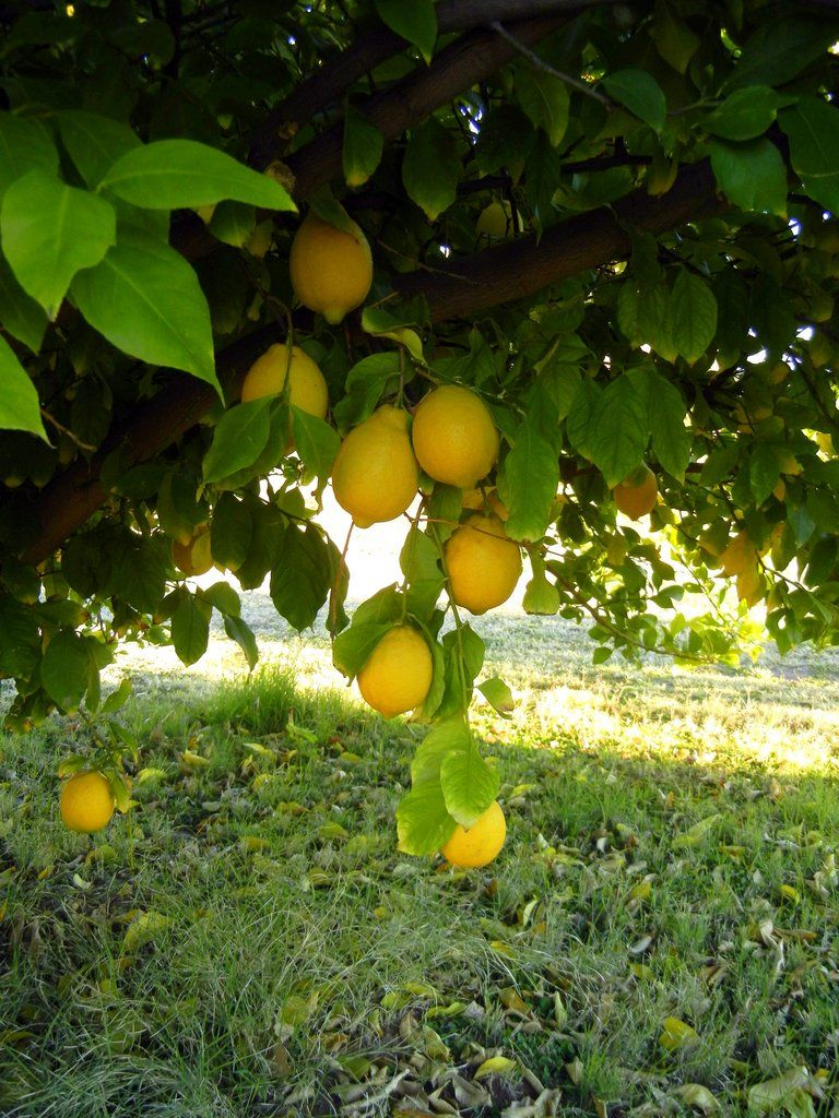 Got citrus learn how and when to fertilize from the - When to fertilize vegetable garden ...