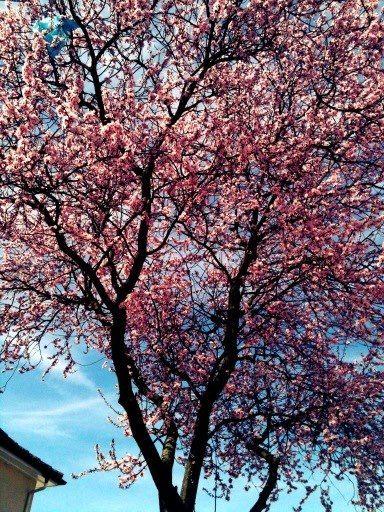 Cherry Blossom Tree Darmstadt Germany Blossom Trees Cherry Blossom Tree Trip Planning