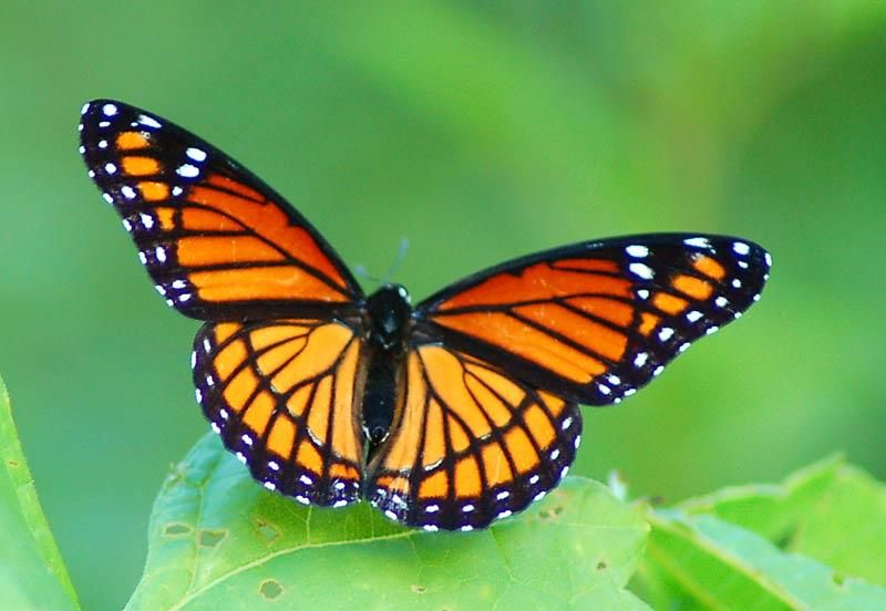 Beautiful Viceroy Butterfly
