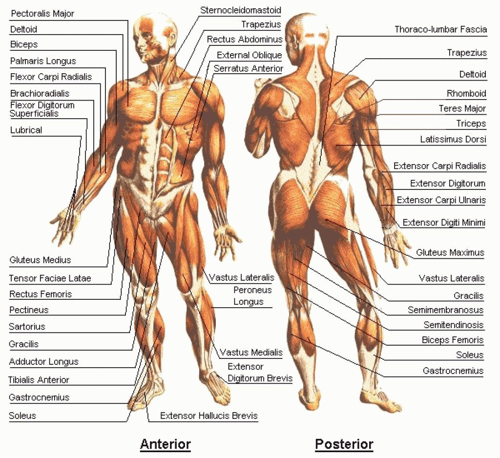 Muscle Map Of Human Body Muscle Map Human Body – Human Anatomy ...