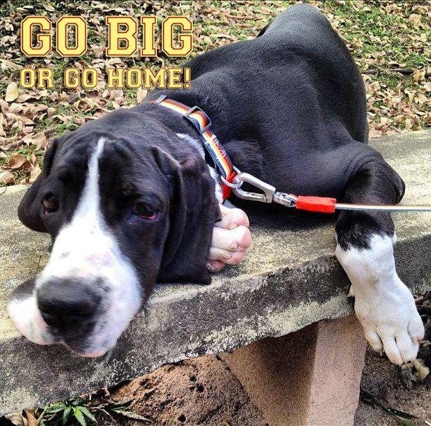 Go Big Or Go Home Love Zee Dog Dogs Dog Love Dog Life