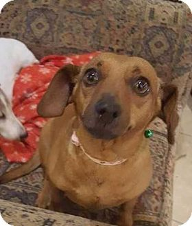 Summerville Sc Dachshund Mix Meet Bam Bam A Dog For Adoption