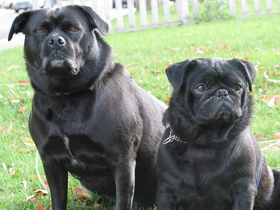 The Guy On The Right That S The One She Wants Pug Lab Mix Pugs