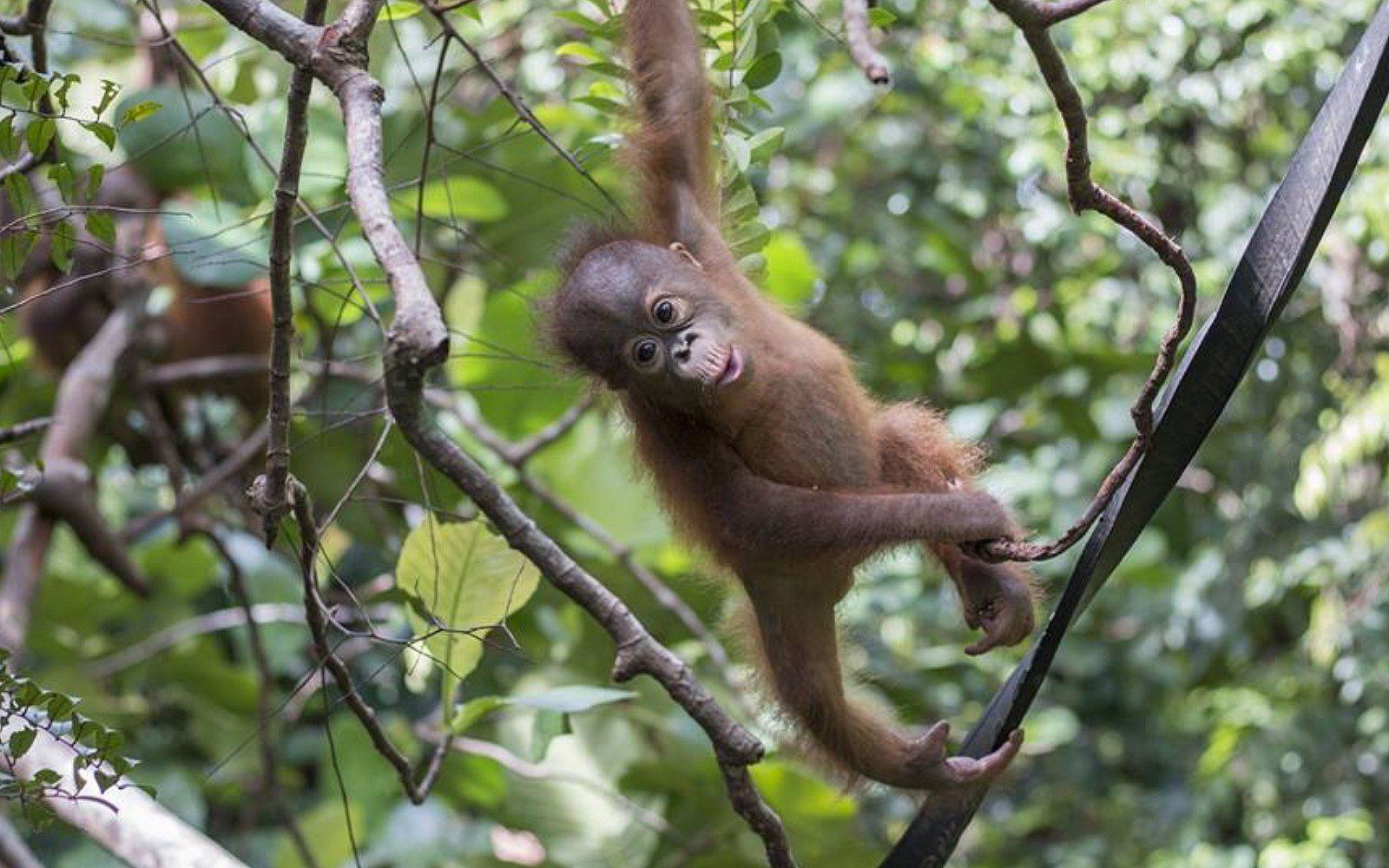 Orphaned Baby Orangutan Who Spent Months as an Illegal Pet ...