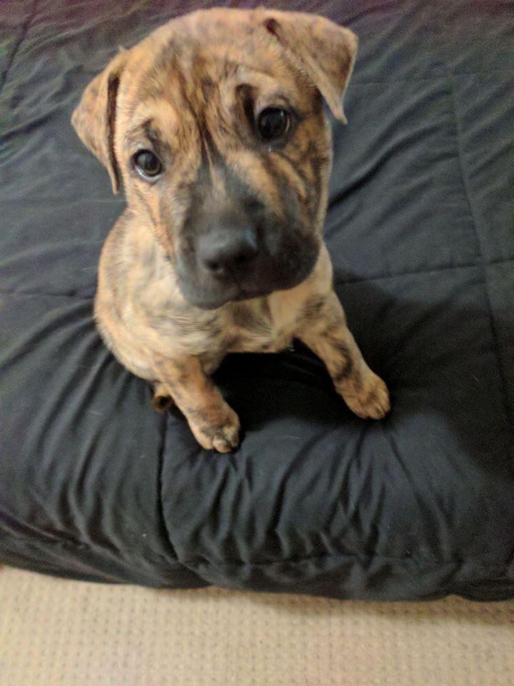 Melly My 8 Week Old Shar Pei X Staffy Http Ift Tt 2qjmttn Staffy Pups Labrador Retriever Shar Pei