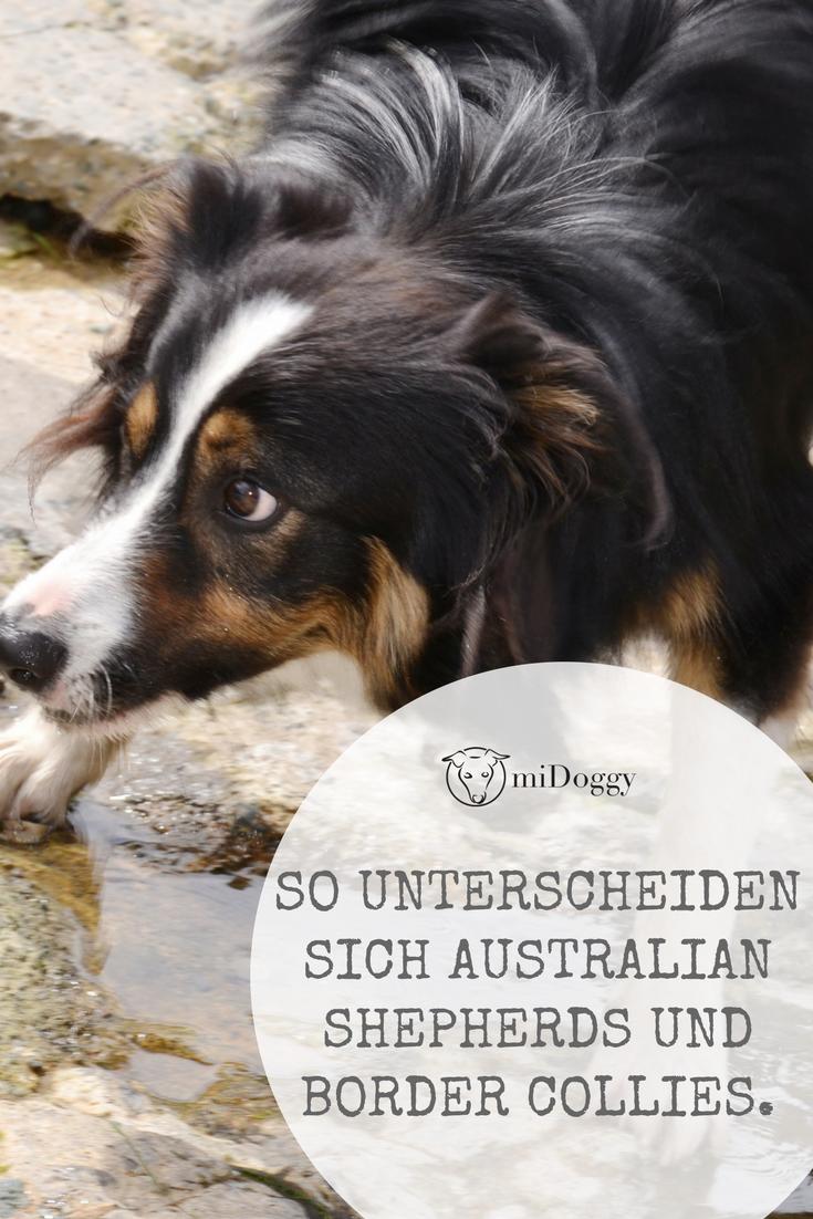 Australian Shepherd Und Border Collie Der Vergleich Ohne Wissenschaft Midoggy Community Australian Shepherd Hunderassen Hunde Rassen
