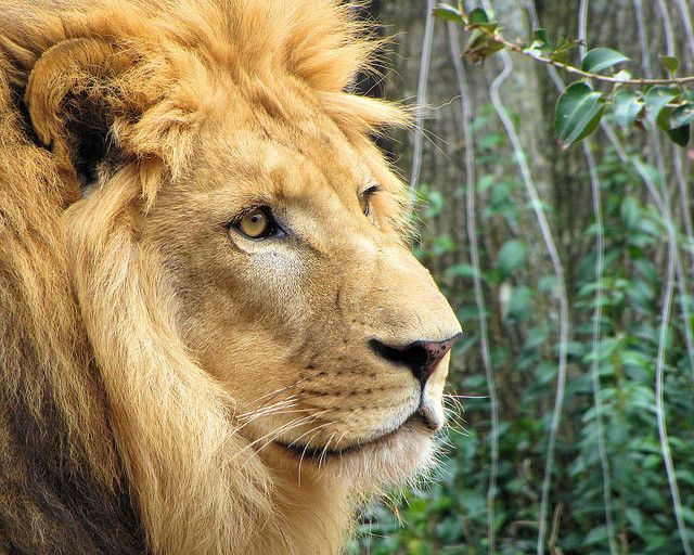 Lions are such majestic creatures.