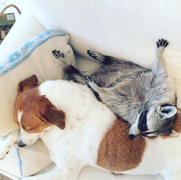 This Rescued Raccoon And His Doggie Brother Raccoons Doggies - 15 unlikely animal friendships will melt heart