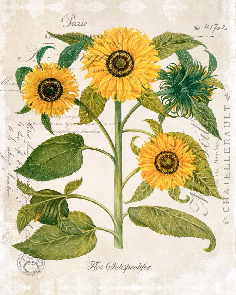 French Sunflower Trio No. 2 - Botanical Art Print | Sunflowers ...