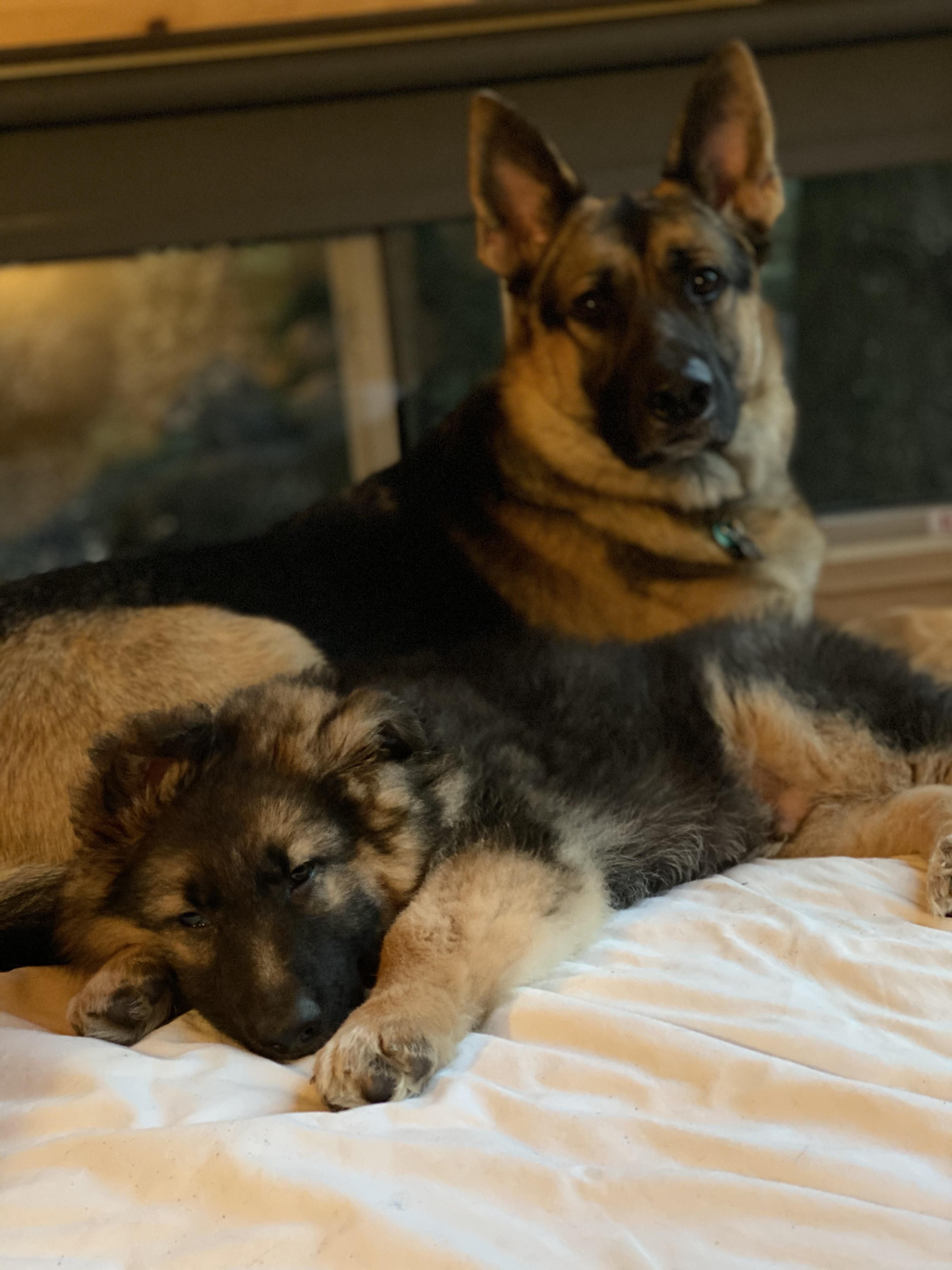 Cabin Camping With The Boys This Weekend We 3 German Shepherds