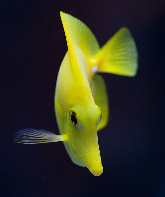 Yellow Tang Saltwater Fish Tanks Ocean Creatures Marine Aquarium