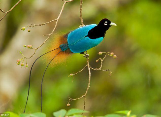 oiseaux de paradis annimaux pinterest papouasie nouvelle guin e for ts tropicales et. Black Bedroom Furniture Sets. Home Design Ideas