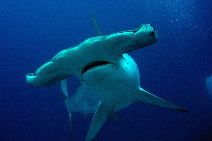 http://www.ecoticias.com/latam/ecoticias.co.cr/tiburon-martillo ...