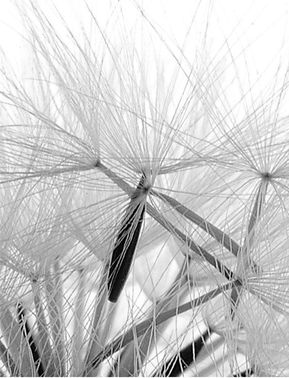 Dwarf dandilion seeds i 8 x contemporary botanical nature print black white image