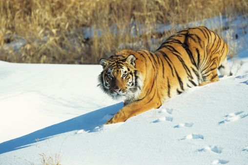 Tigers, like other mammals, are warm-blooded and have to work ...