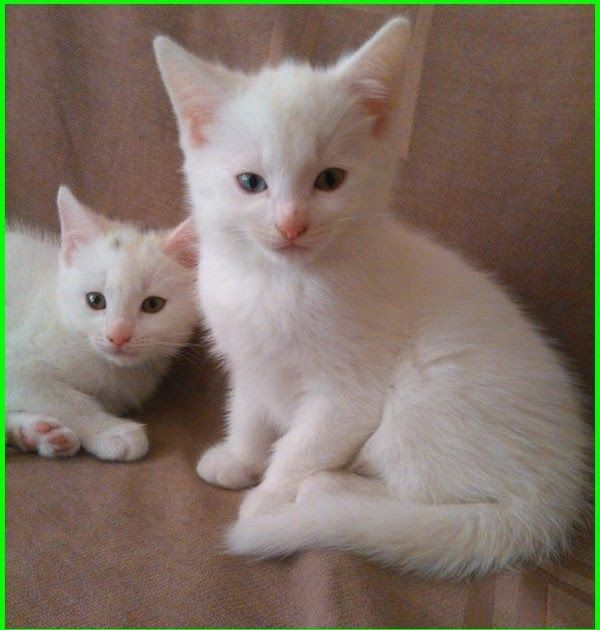 Paling Populer 21 Gambar Kucing Anggora Yang Lucu Dan Imut 5000 Gambar Kucing Lucu Imut Dan Paling Menggemask Di 2020 Gambar Kucing Lucu Kucing Lucu Anak Kucing Lucu