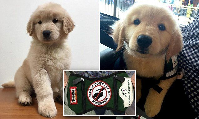 Golden Retriever Puppy Is Stolen From Service Dog Training