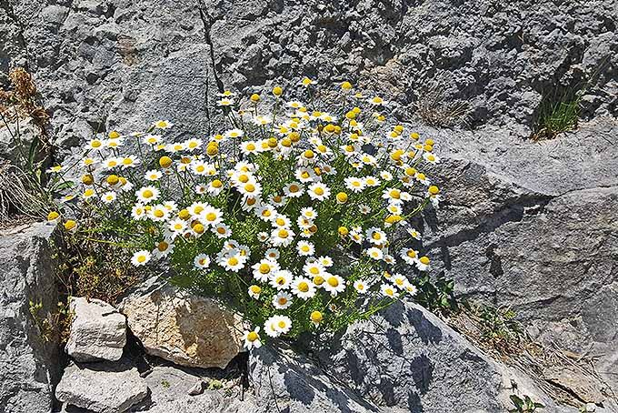 How To Grow Chamomile In Your Herb Flower Garden 400 x 300