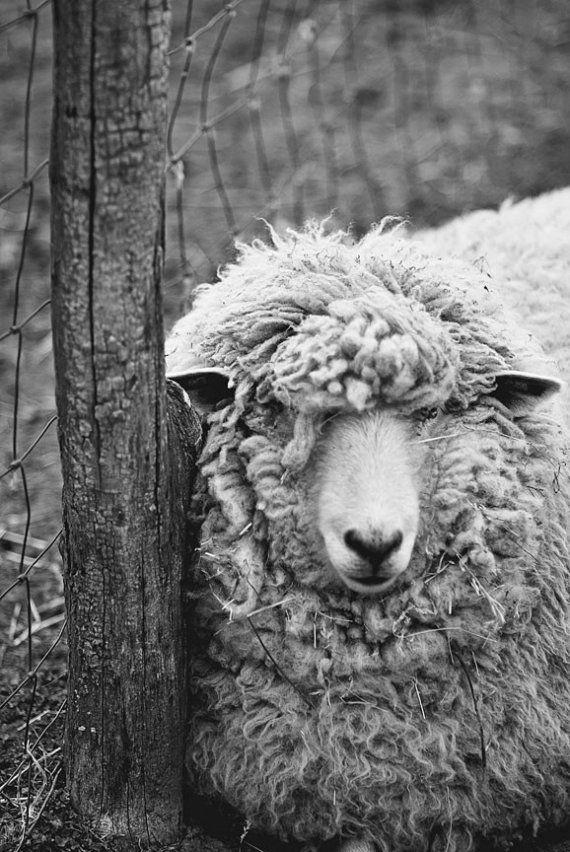 Country Living Sheep Oveche Iskusstvo Samye Milye Zhivotnye Monohromnyj Art