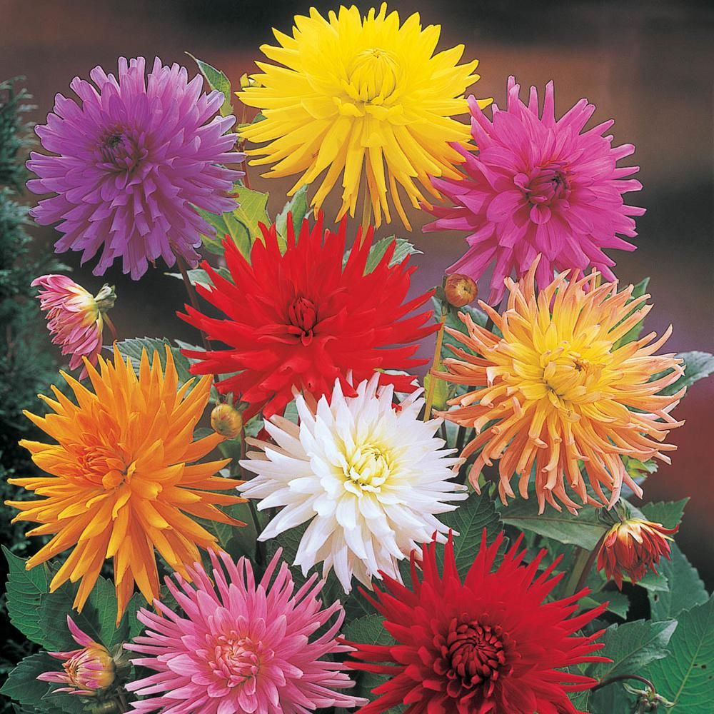 Breck S Multi Colored Cactus Mixed Dahlia Flowers Bulbs 5 Pack