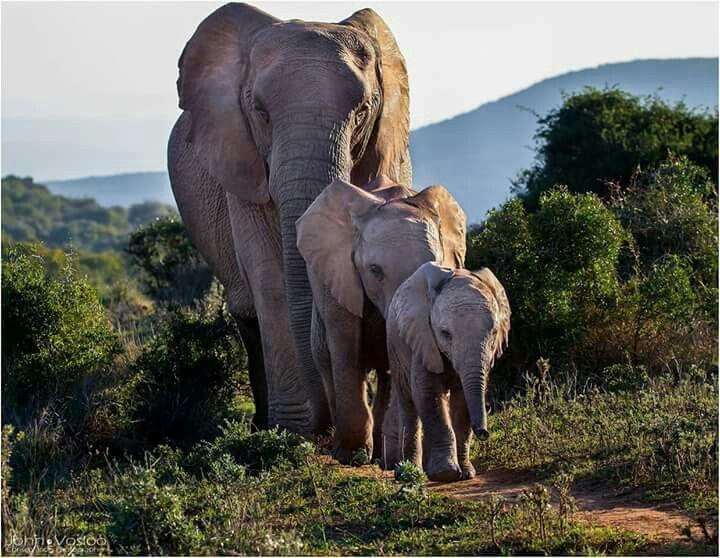 Картинки по Еапросу african elephant