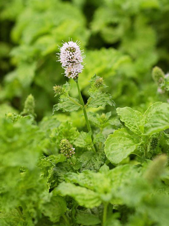 12 Fresh Herbs You Should Really Be Growing This Year   Outdoor