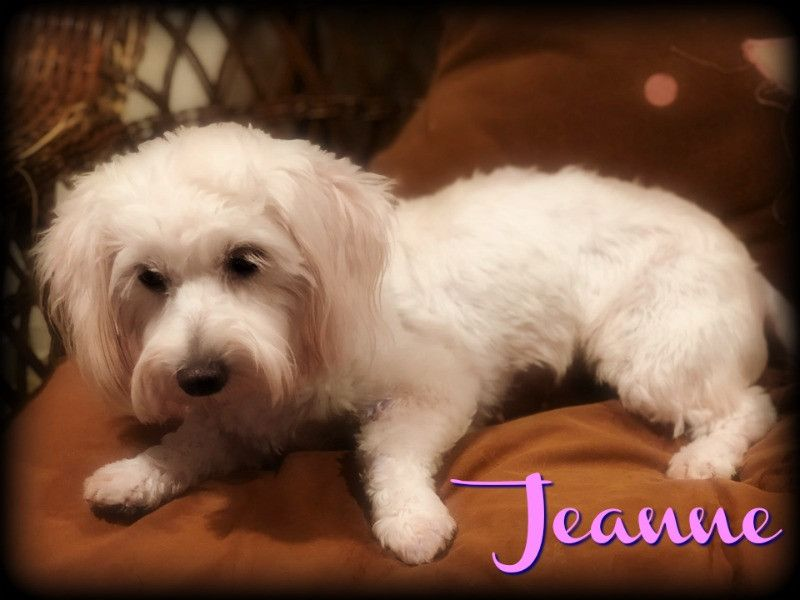 Adopt Jeanie On Poodle Mix Dogs Poodle Mix Adoption
