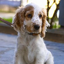 English Cocker Spaniel Springer Spaniel Puppies Dogs English Cocker Spaniel