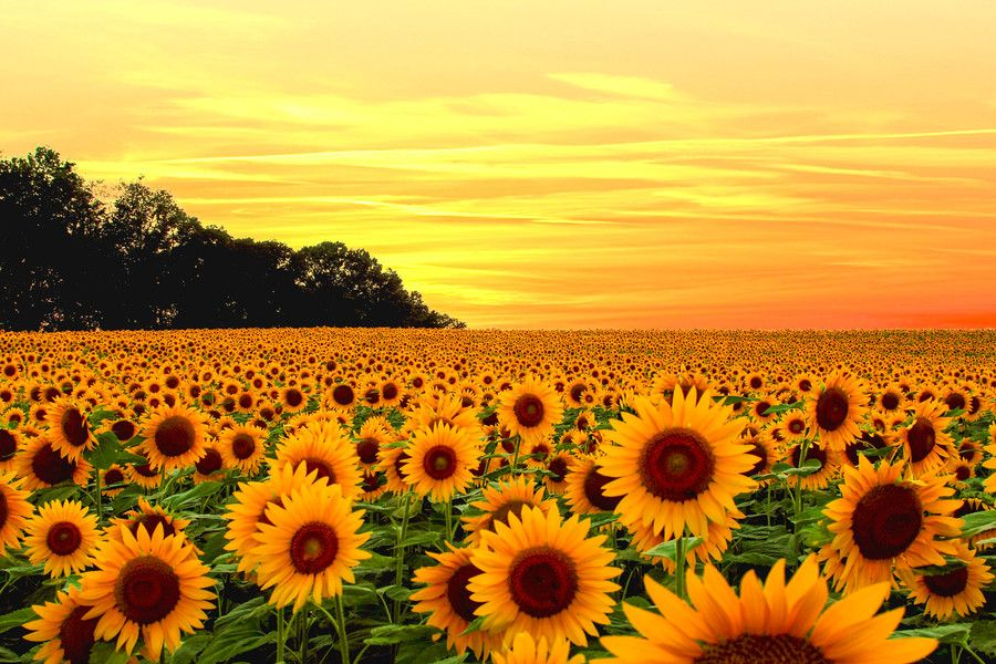 Sunflower Fields Maryland By Rajan Kannan On 500px With Images