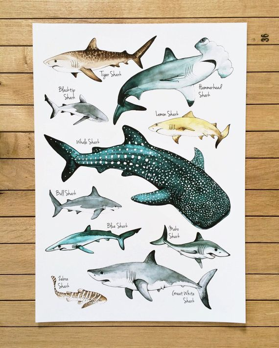 Sharks Poster Watercolour Illustration Sharks Print Shark Etsy In 2020 Shark Art Shark Illustration Watercolor Illustration