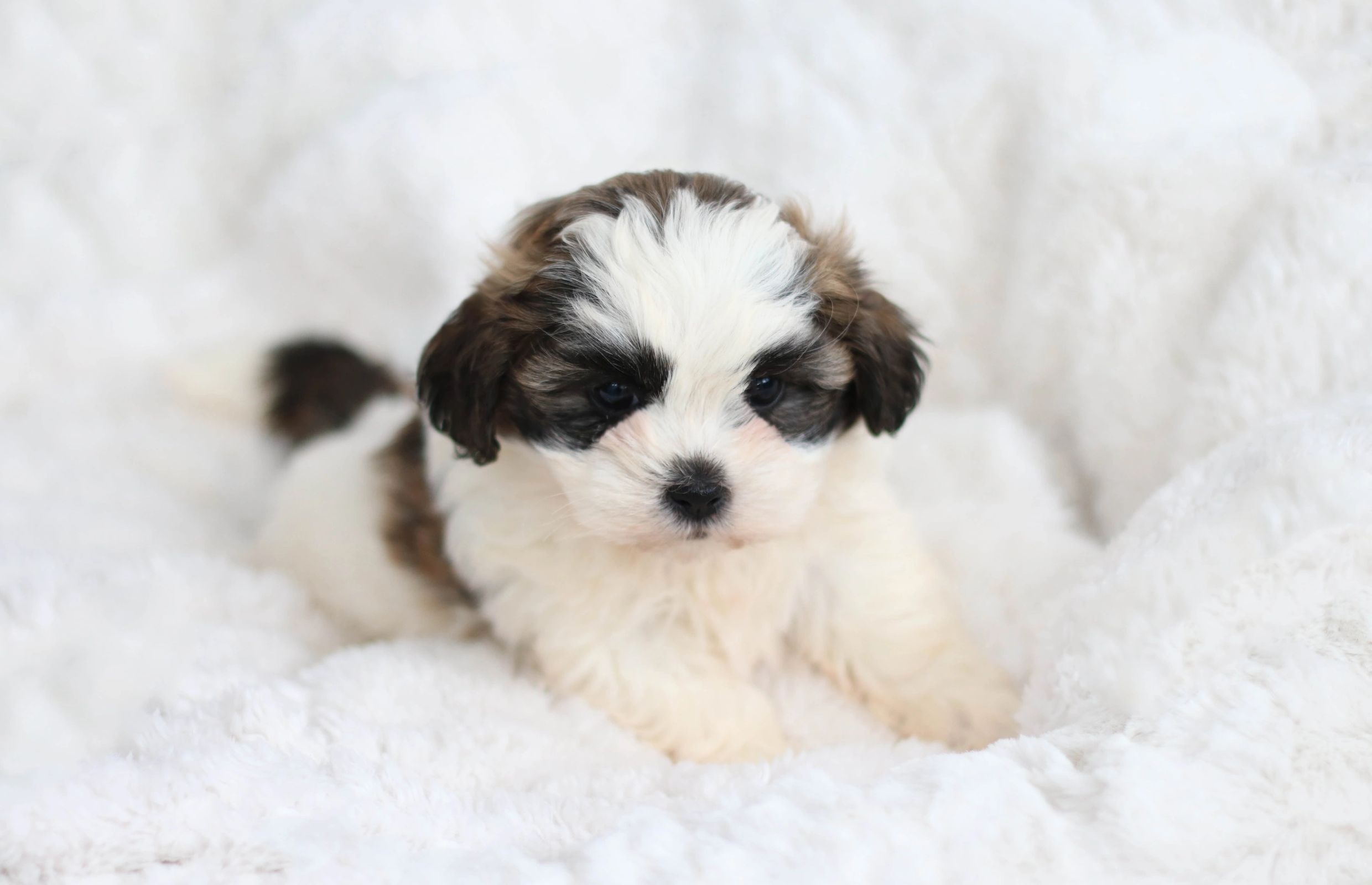 Pin By Bob Hodges On Puppies In 2020 Teddy Bear Puppies Shichon