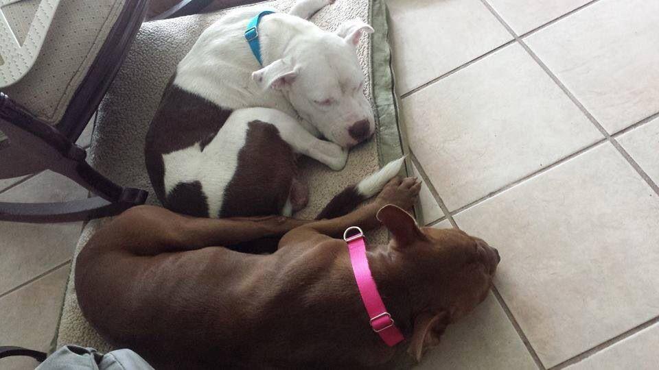 Founddogs 10 1 14 Strays Jacksonville Fl Pitbull Male Boxer