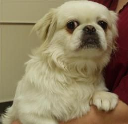 Alejandro Is An Adoptable Pekingese Dog In Vancouver Wa