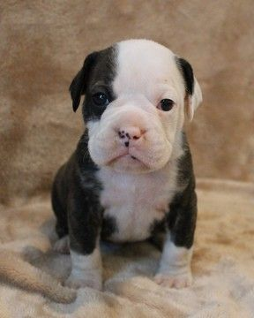 Litter Of 9 Olde English Bulldogge Puppies For Sale In Jennings