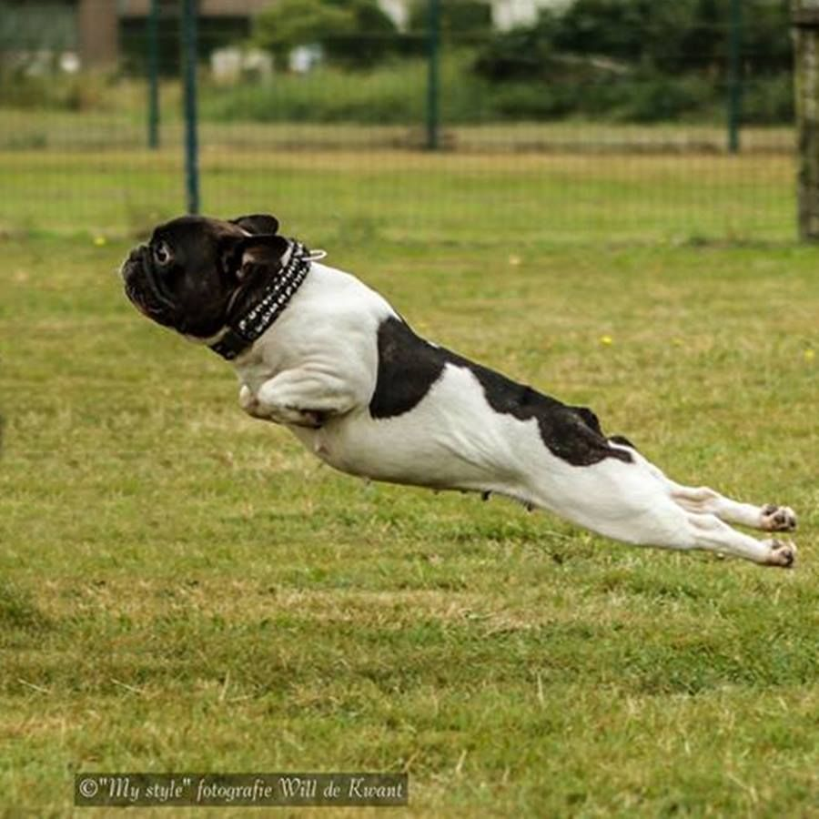 Houston We Have Lift Off French Bulldog In Flight