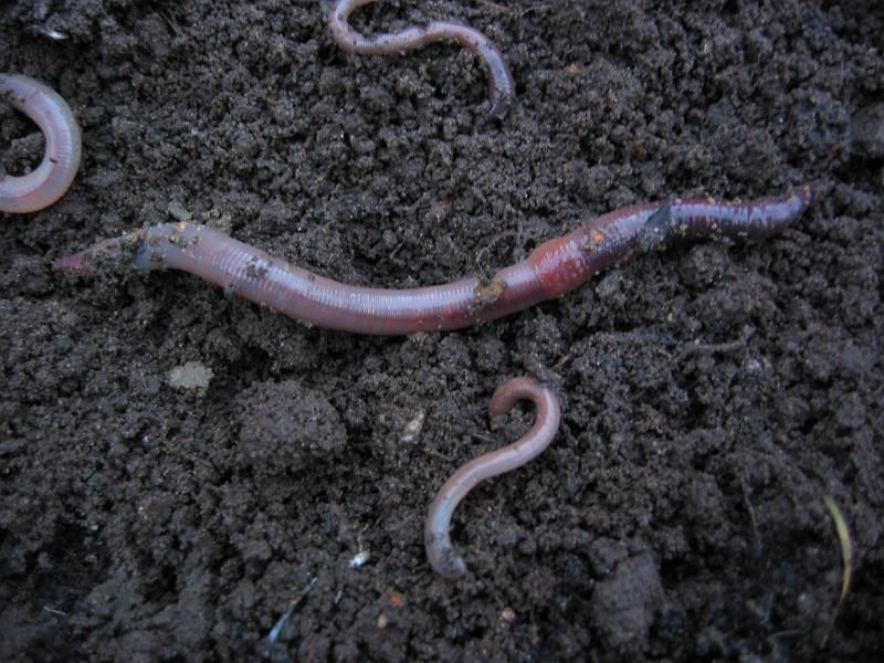Worms In Your Garden Compost