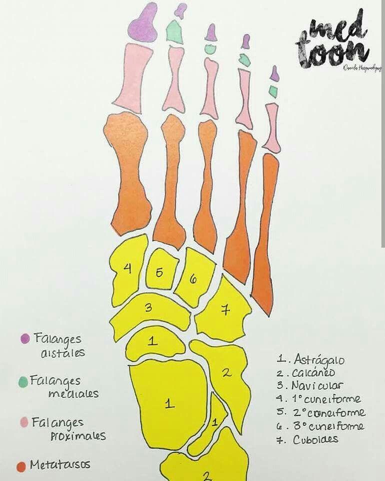 Huesos Anatomia Humana Huesos Huesos Anatomia Anatomia Medica