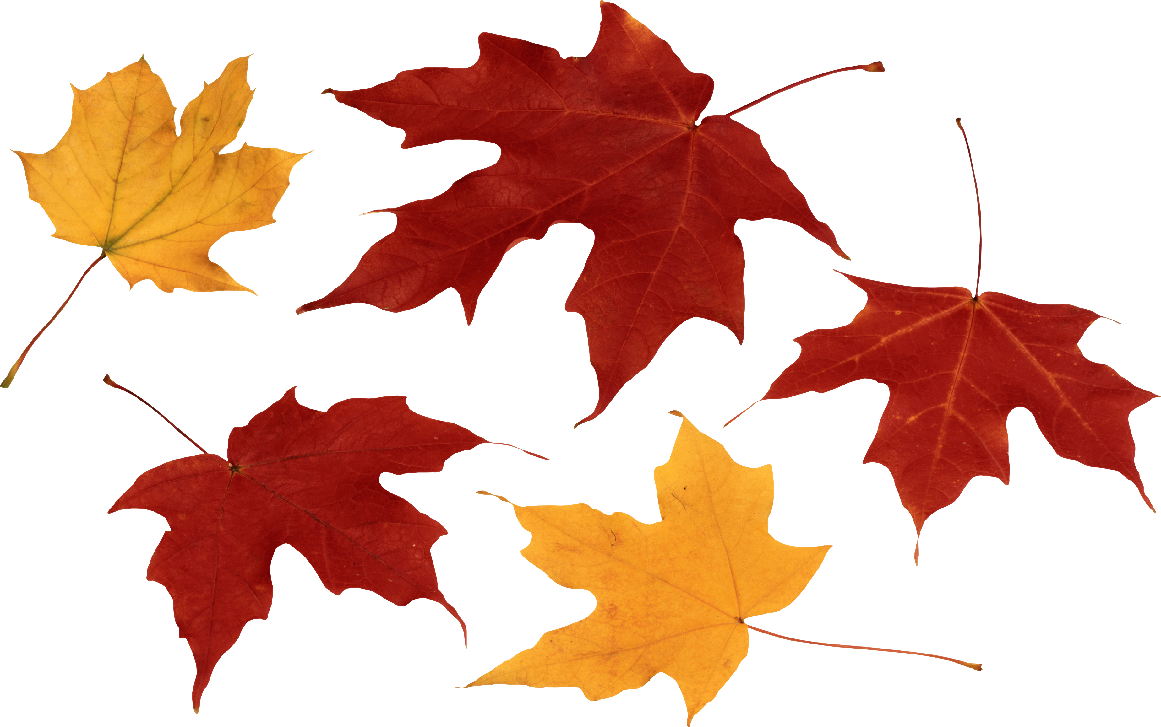 Red Autumn Leaf Png Image Png Images Autumn Leaves Png