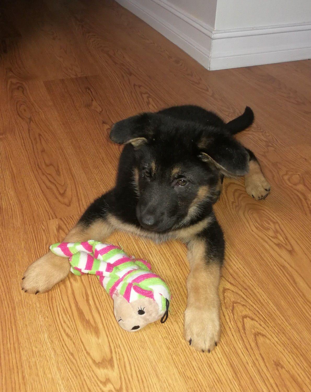 German Shepherd Puppy Maya 8 Weeks Old And Growing Fast German