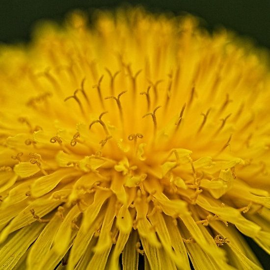 Macro Dandelion Flower prints and gifts