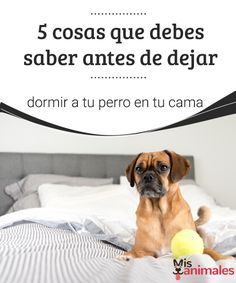 5 cosas que debes saber antes de dejar dormir a tu perro en tu cama   Si pese a los consejos profesionales estás a punto de dejar dormir a tu perro en tu cama, primero lee esta nota y luego piénsalo bien y decide a conciencia. #cama #perro #dormir #consejos