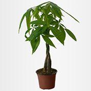 plante verte le pachira