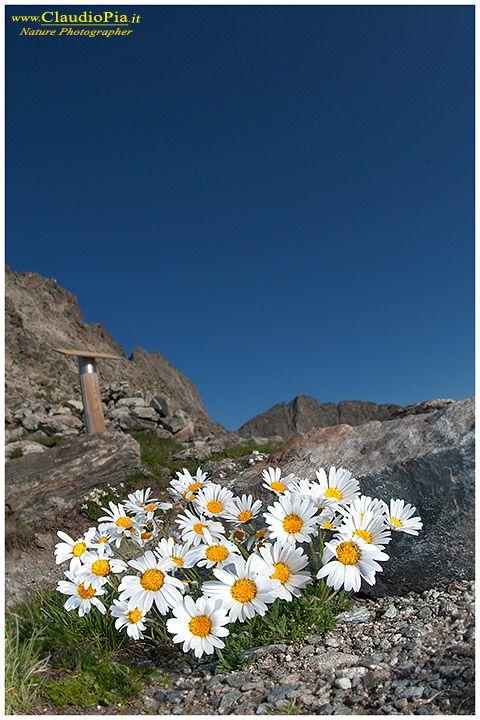 Fiori Bianchi Di Montagna.Leucantemopsis Alpina Fiori Di Montagna Alpini Fotografia Foto