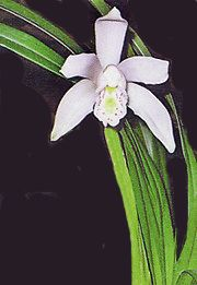 e72eb597f91b0 Cymbidium, Orquídea  Técnicas de cultivo y principales especies orquídea  Cymbidium
