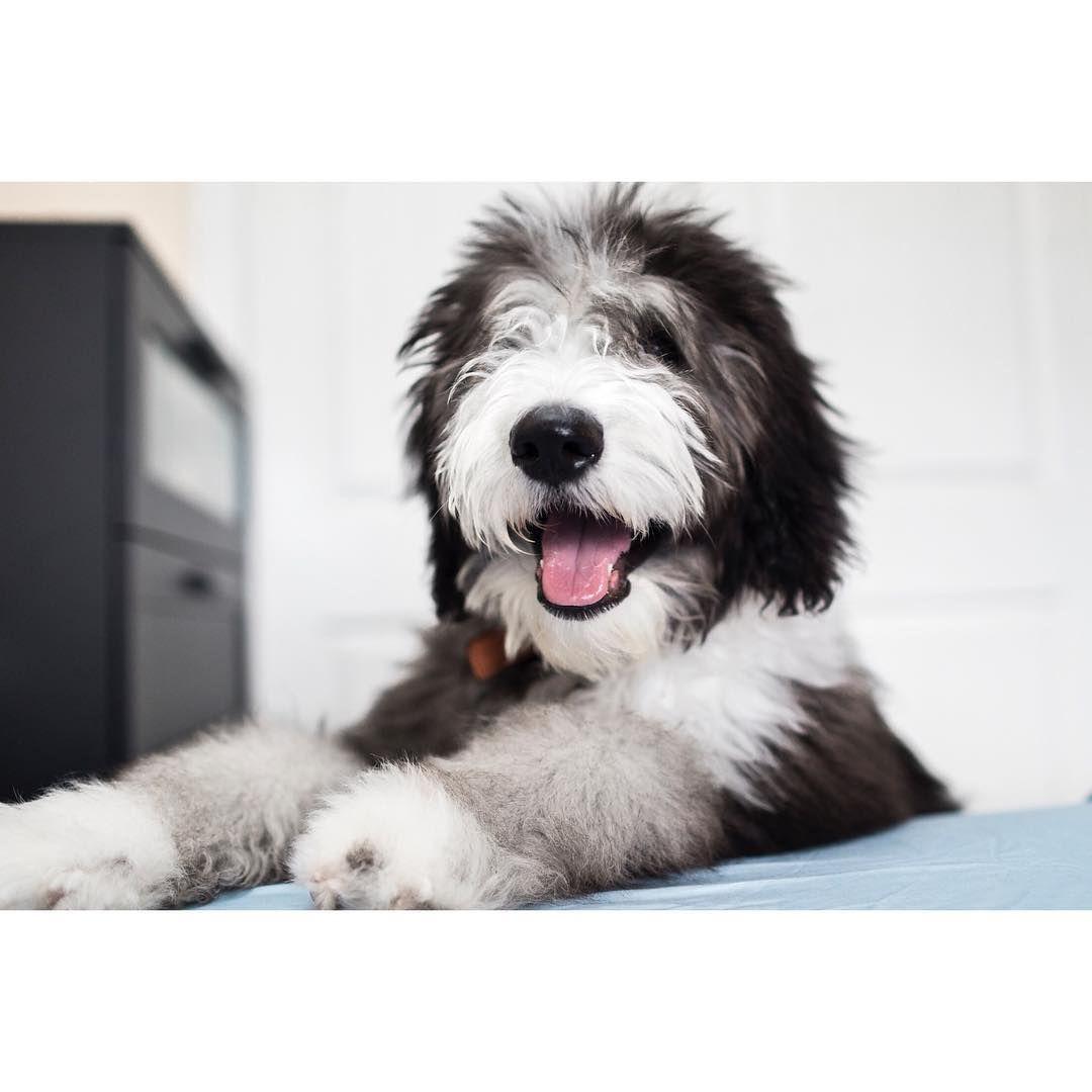 Sheepadoodle Poodle Mix Breeds Dog Breeds Poodle Mix