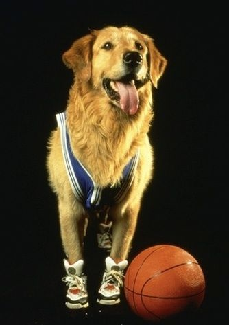 Buddy From The Air Bud Movie With Images Dog Movies Air